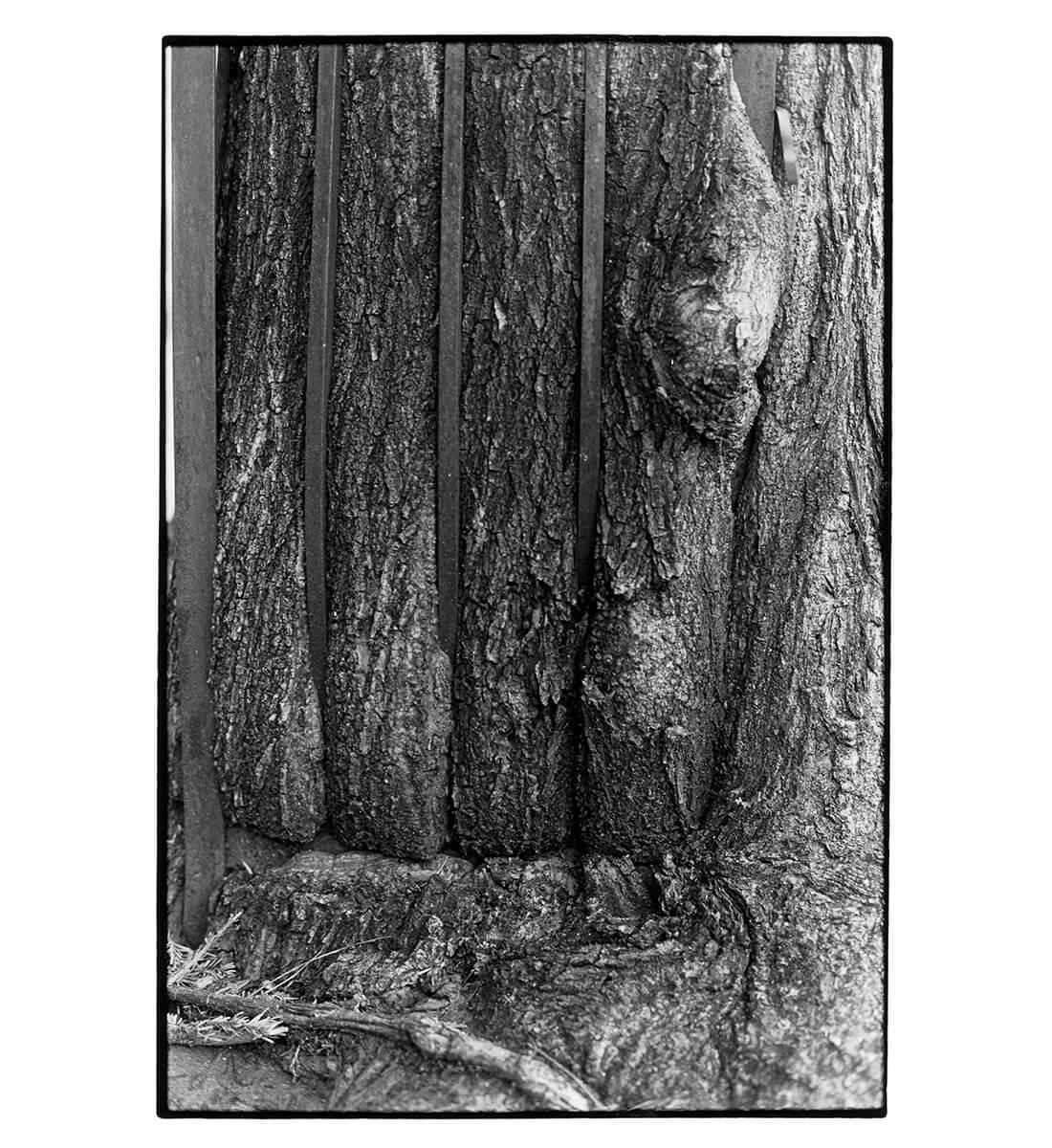 Tree + Fence, E. 6th St. (close-up)