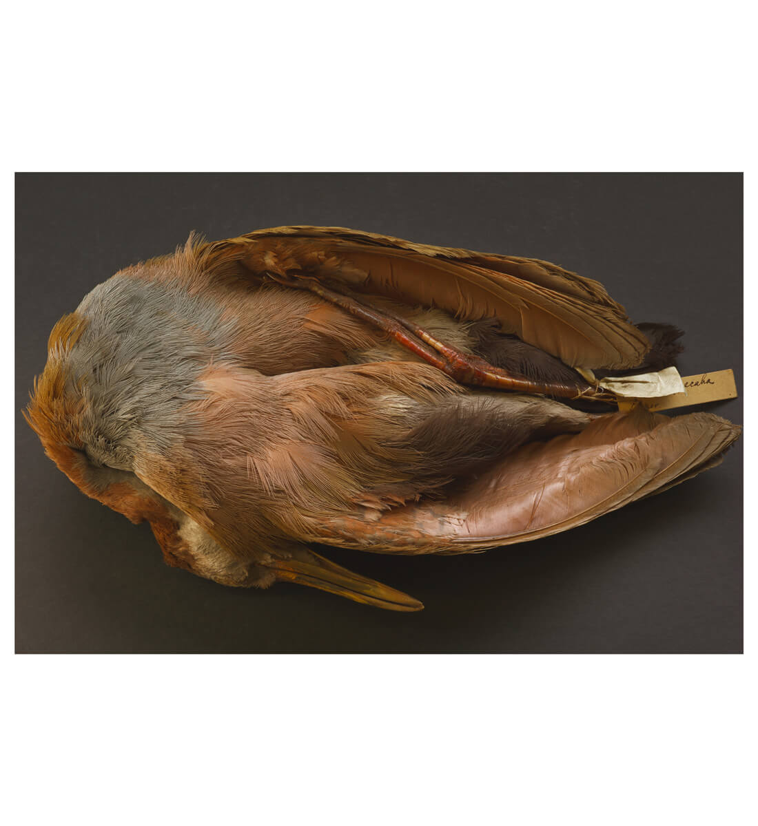 Charles Darwin's bird specimen, collected during the voyage of the Beagle